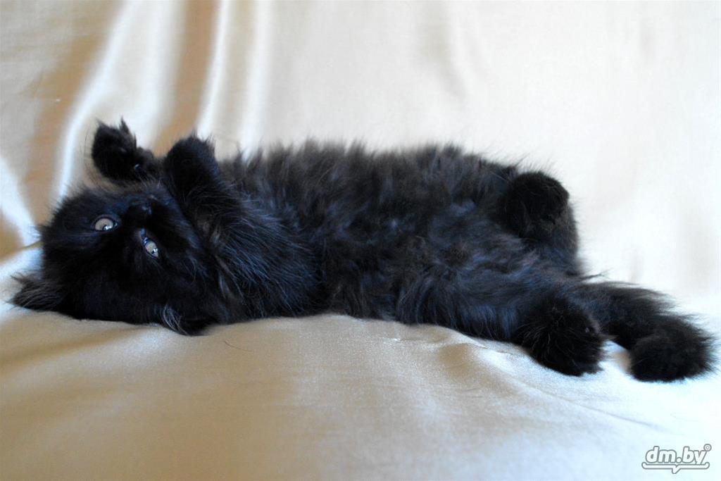 черный персидский котенок фото сейчас