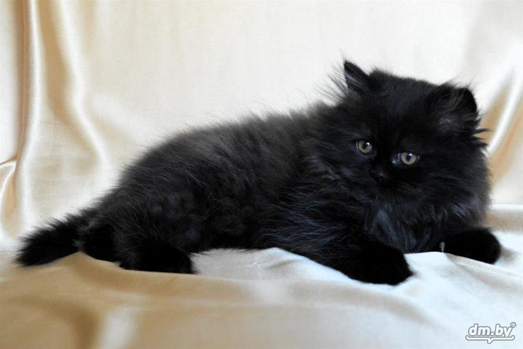 черный персидский котенок фото тесты