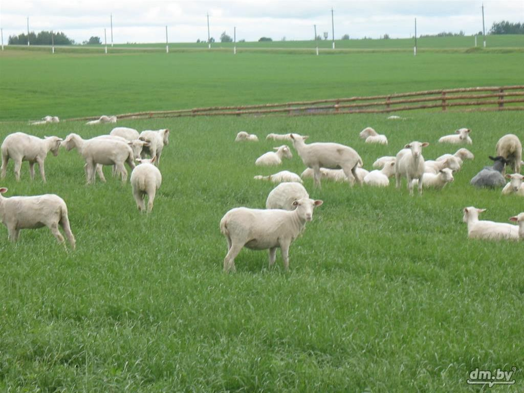 закона овцы мясных пород в белоруссии организации подменного фонда