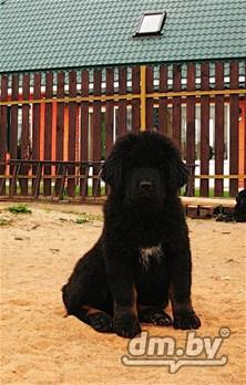тибетский мастиф фото в минске