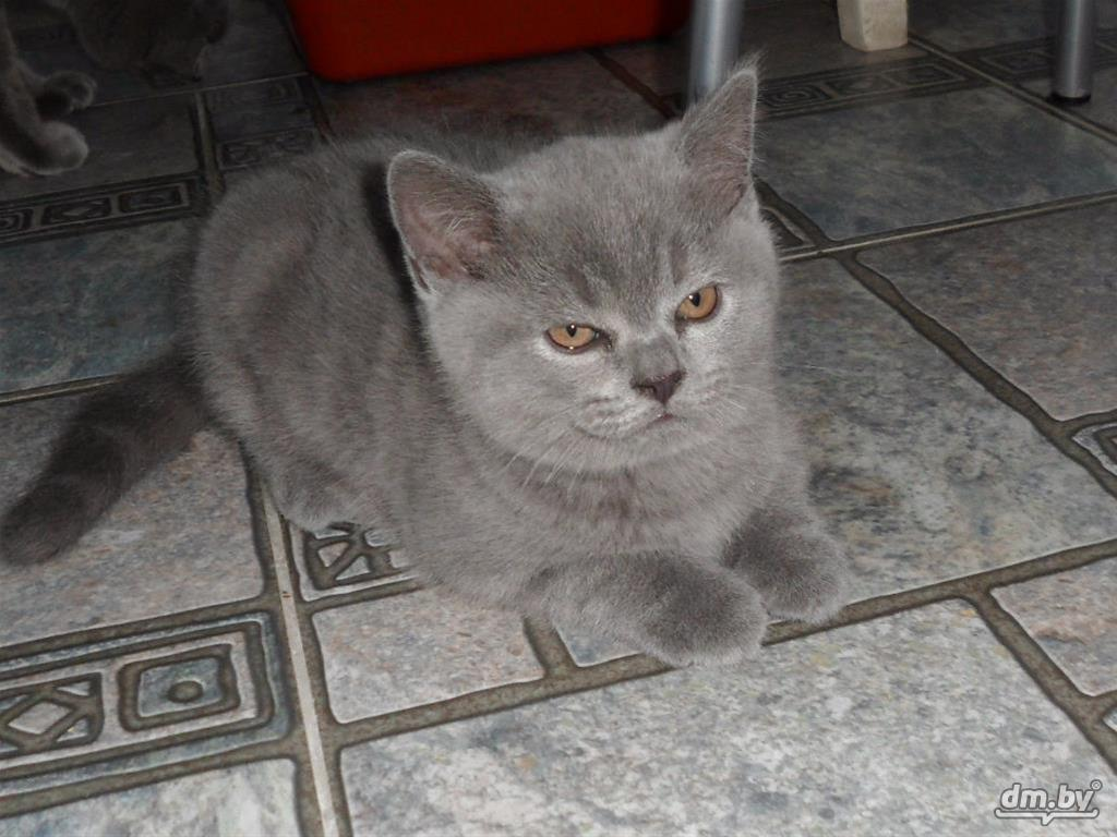 фото шотландского кота в 4 месяца