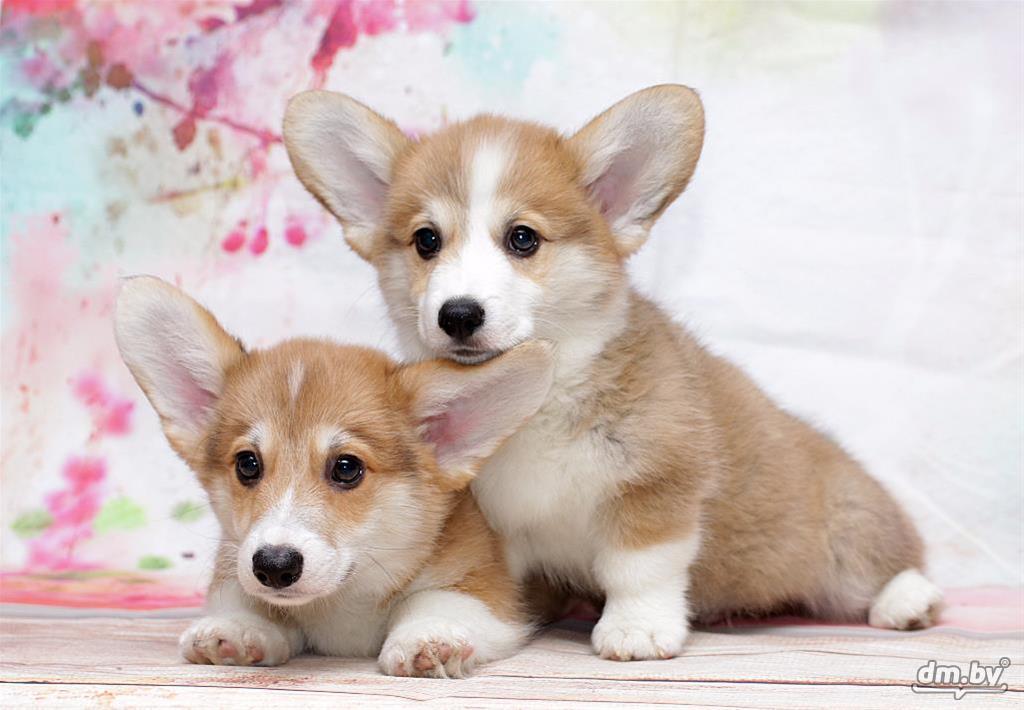 блонд другие щенок вельш корги пемброк фото батя