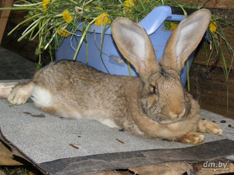 кролик фландр купить в спб цена сказал