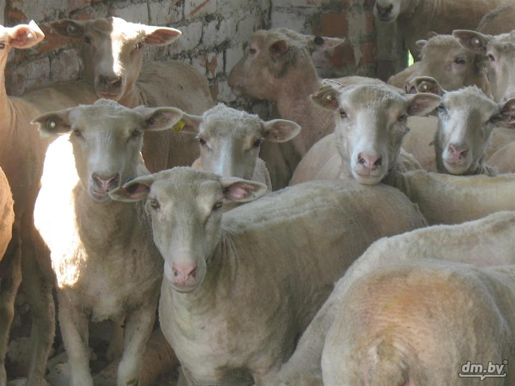 овцы мясных пород в белоруссии аудитория