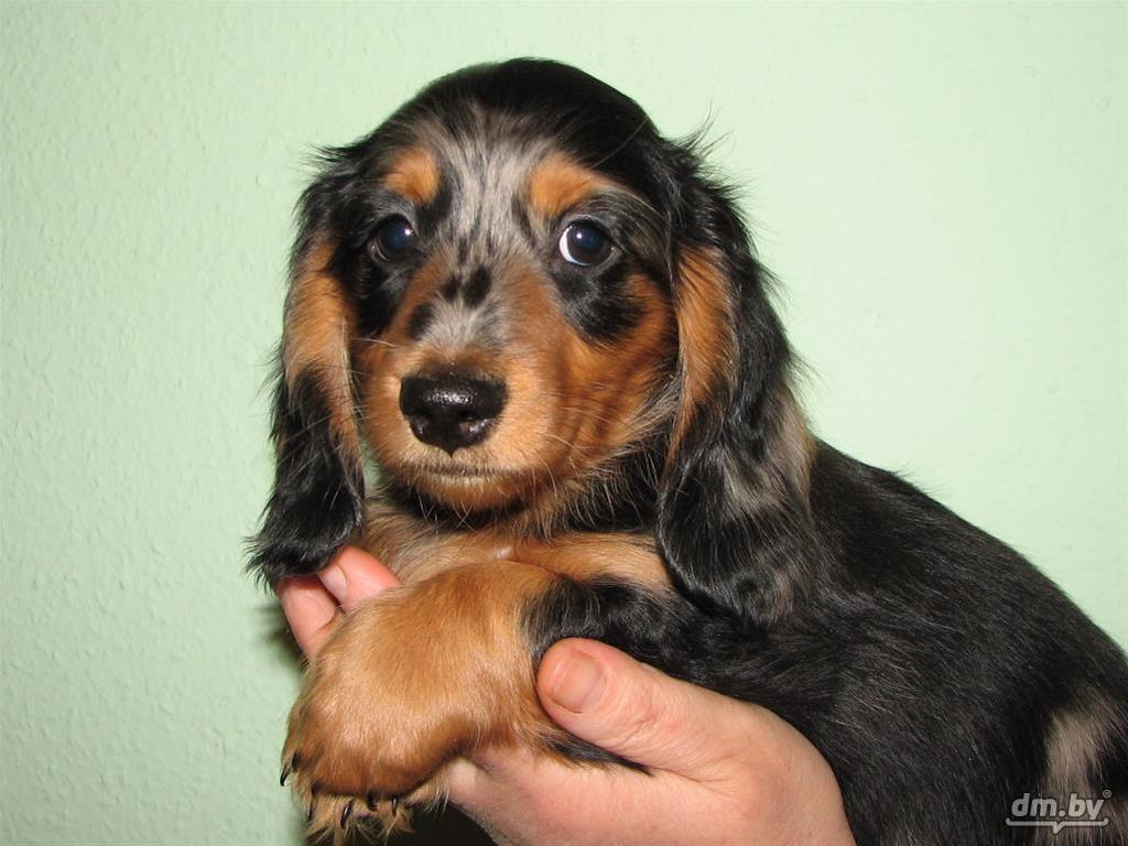 Щенок таксы миниатюрной длинношерстной (маленькой собачки самой красивой разновидности такс)